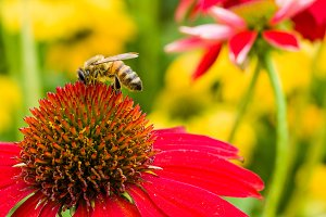 Bee on red echinacea