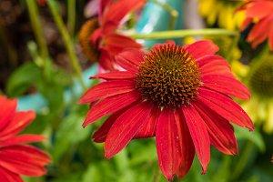 Red flowering echinacea