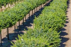 Conifer shrubs in nursery