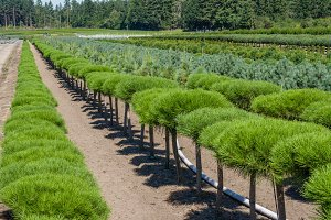 Rows of ornamental shrubs