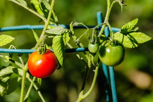 Red tomato in the garden
