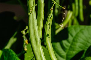 Green beans in the garden