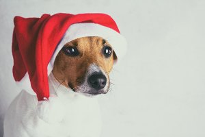 dog in santa - claus cap