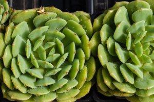 Green sedum plant