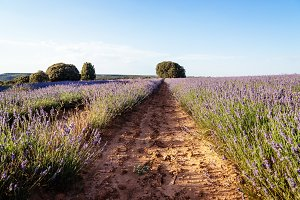 Lavender Fields at Sunset