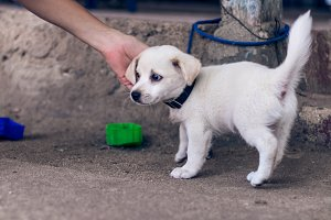 A very little white balinese puppy on the sand, outside, tropical island Nusa Lembongan, Indonesia. Asia.