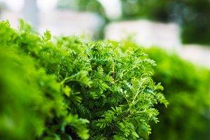Horizontal green bush bokeh background