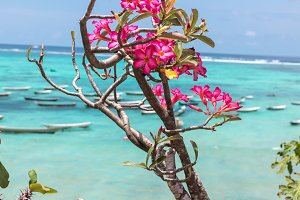 Beautiful tropical ocean landscape, asian flowers, fishing boats on the background. Nusa Lembongan, Indonesia.