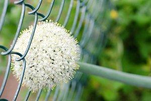 Onion flower.