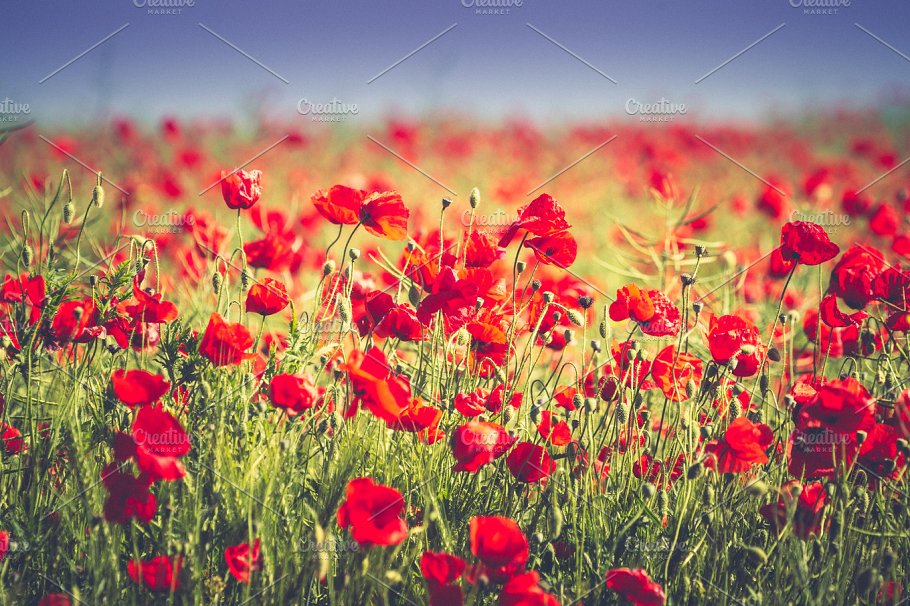 Poppy Field Flowers Background Nature Photos Creative Market