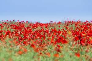 Poppy field. Flowers background