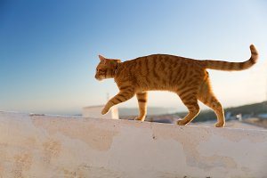 Red cat walking