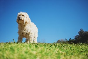 Poodle standing in the sunshine