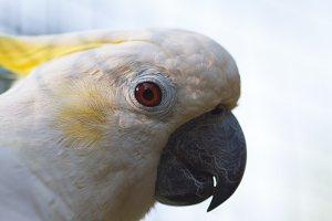 Cockatoo portrait, macro photo.