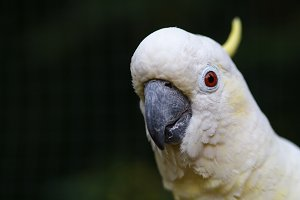 Cockatoo close-up in nature.