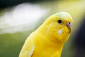Yellow wavy parrot, close-up.