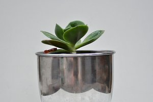 Succulent in steel pot