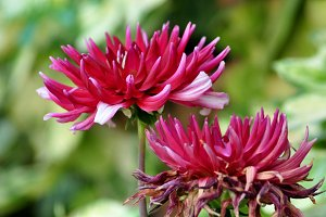 Two dahlias in natural garden