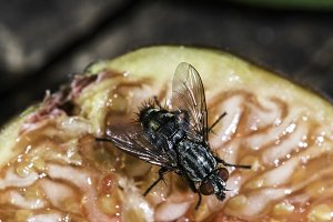Fly insect on fruit
