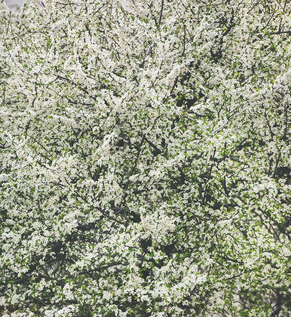 Blooming Tree With White Flowers