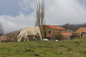 Cows in a village