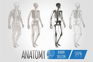 Anatomy Human Body skeleton vector