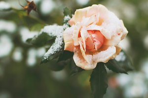 Pink rose and snow.