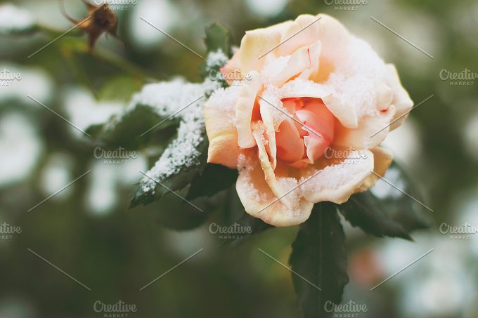 Pink rose and snow.  - Nature