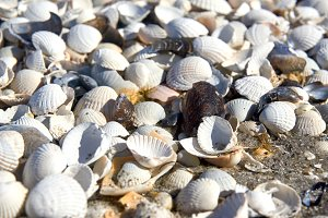 group of white sea shells on beach