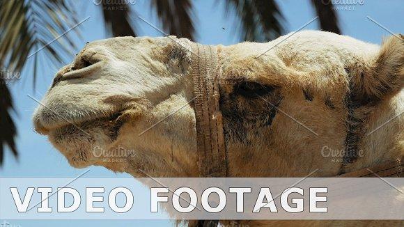 Camel Head Closeup Outdoors