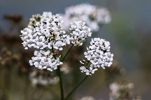 Vertical vivid white Norway flowers bokeh background backdrop