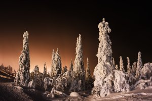 Orange Finnish winter forest