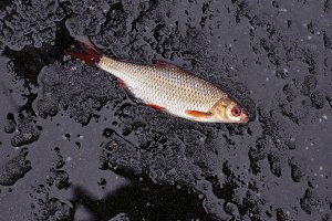 perch fish on ice