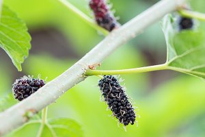 Ripe black and red mulberries