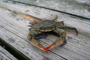 Blue Crab on Pier