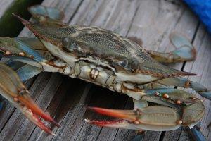 Blue Crab Closeup