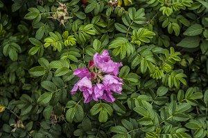 Pink flower in green shrub
