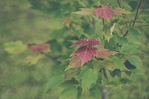 Red Maple Leaves in Summer