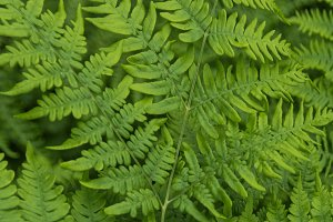 Vibrant Green Bracken Fern