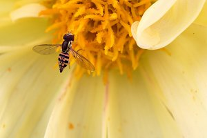 Hoverfly on Yellow Dahlia