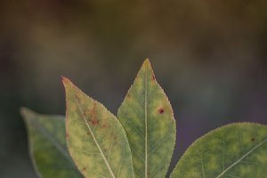 Apple Leaf Close Detail