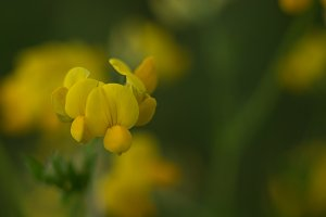 Trefoil with Blurred Background