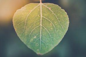 Vintage Look Aspen Leaf