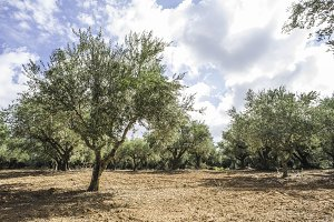 Olive trees in plantation
