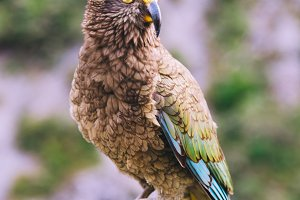 New Zealand Parrot (Kea)