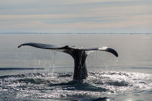 Beautiful Whale in the Arctic
