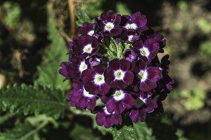 Violet color flowers