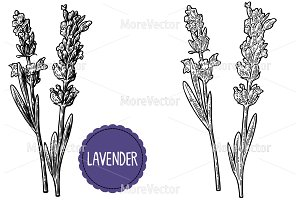 Lavender flowers engraving