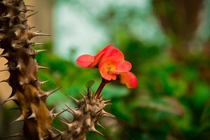 Flower in the Bed of Thorns
