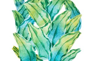 Watercolor painting of green tropical leaves. Hand-made pattern of waringin Ficus benjamina drawn on white paper